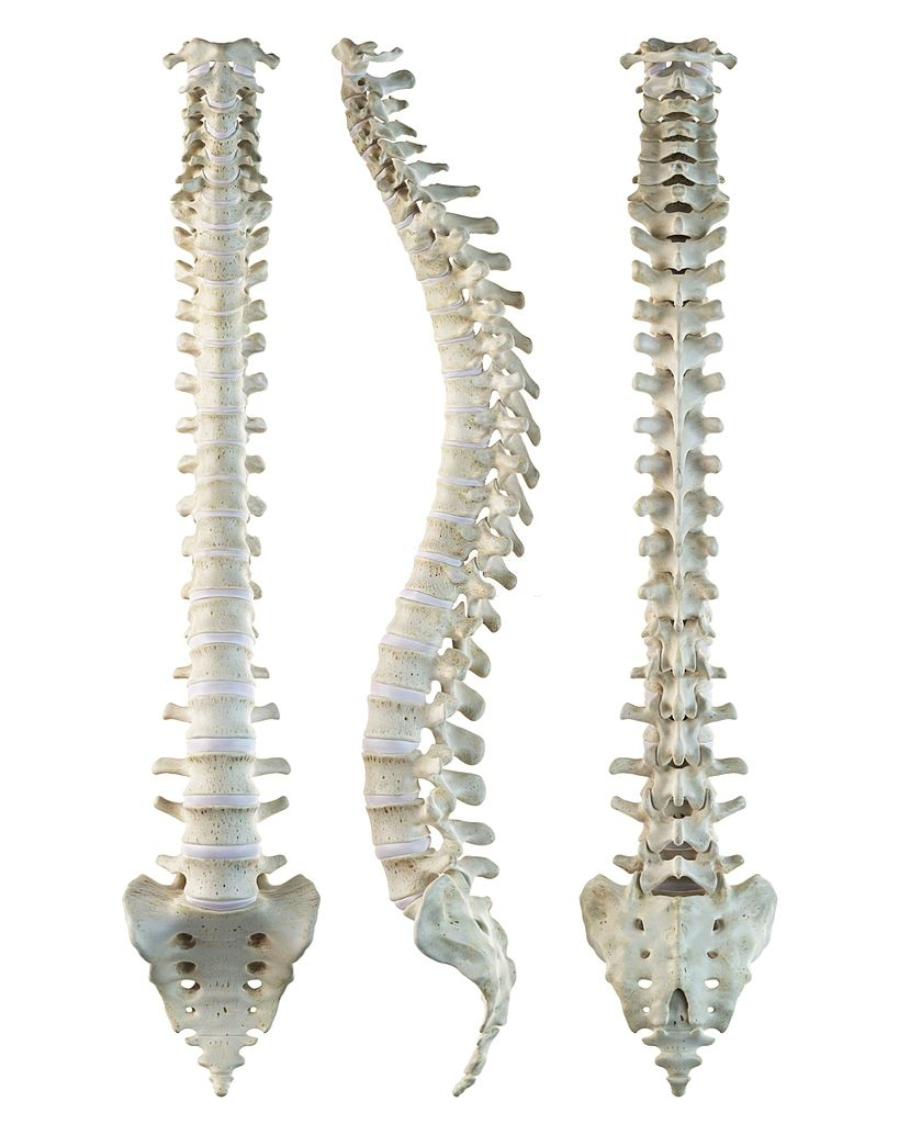 Length of the Spinal Column